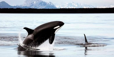 Orcas (killer whales) in Alaska