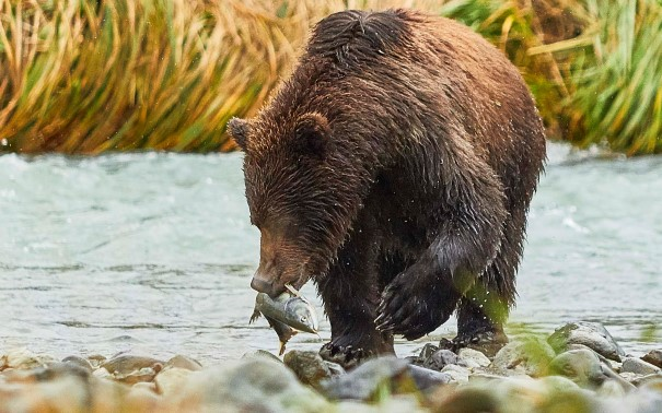The area supports a healthy population of brown bears.
