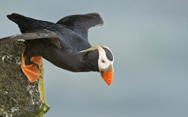 Tufted puffin on the cliffs of St. Paul island.