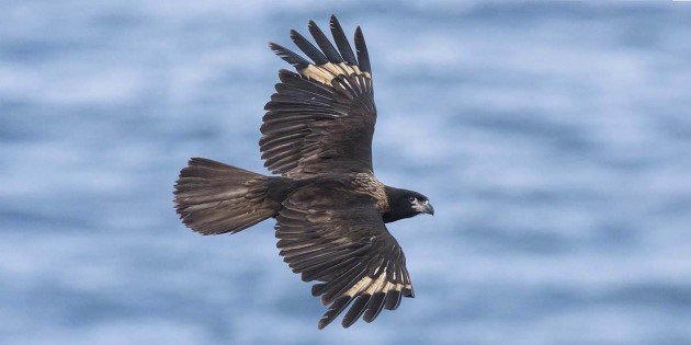 A powerful sea eagle, Cape Horn