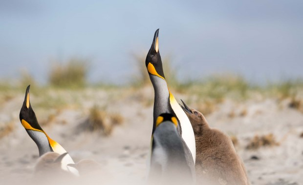 The final part of your expedition cruise will let you explore the Falklands' remote areas and rich wildlife, here represented by the King penguins.