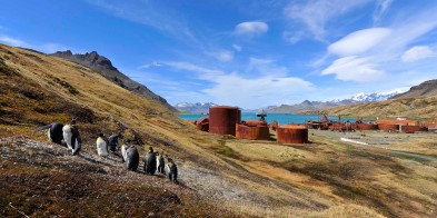Penguins roaming the area around Grytviken, with MS Fram anchored in nearby cove.