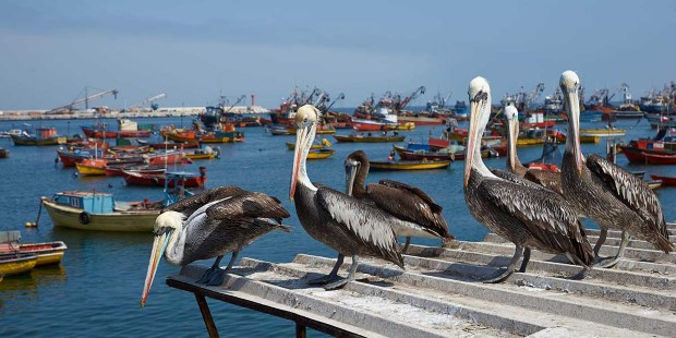 Peruvian pelicans on a roof, Arica, Chile.