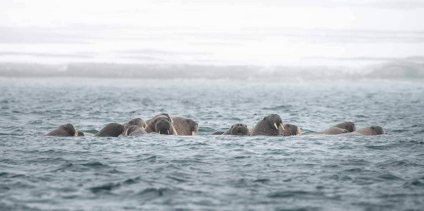 Walrus on Kvitøya, Svalbard. The local flora and fauna are in full bloom in summer, with rich wildlife like seals, thousands of seabirds, the Arctic fox and reindeer.