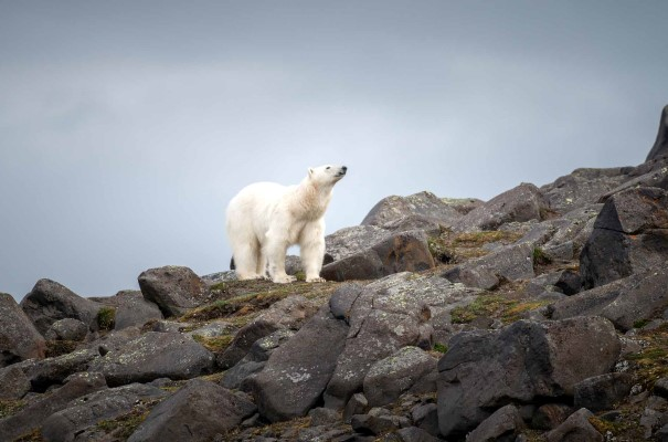 As we explore, scan for seals, thousands of seabirds, Arctic fox, reindeer and of course, we'll keep a sharp eye out for the polar bears of Svalbard. There's a good chance that we'll encounter the King of the North – after all, there are more polar bears than people on the archipelago.