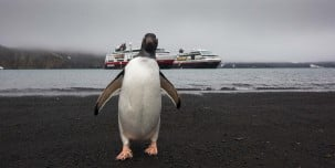 A curious Gentoo penguin on Deception Island. Get ready to encounter astounding wildlife of the last untouched continent. You will see whales, seals, and meet thousands of penguins.