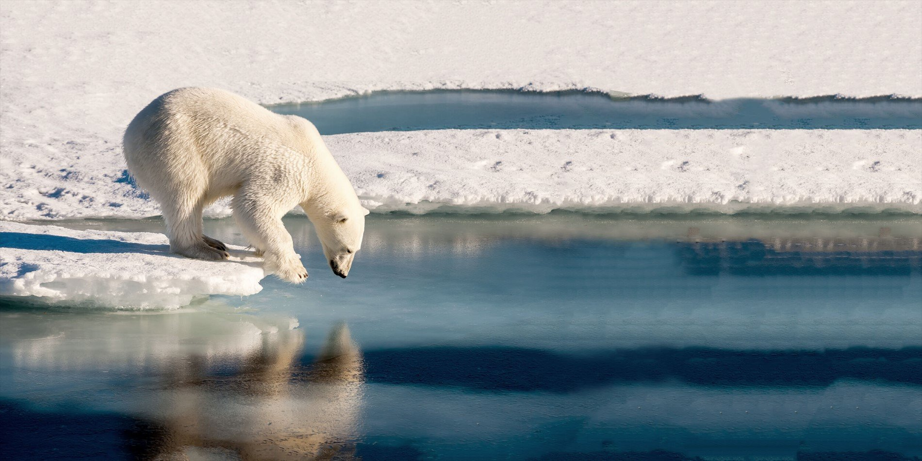 A polar bear standing next to a body of water