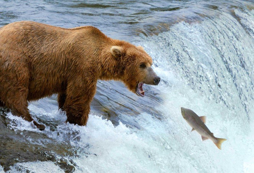 A brown bear standing next to a body of water