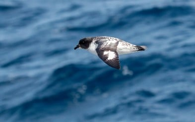 A bird seen from onboard a Hurtigruten vessel while sailing the Drake Passage