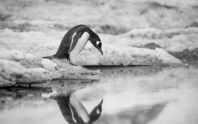 A penguin catching his own reflection in the crisp Antarctic waters