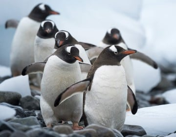 Marching penguins on Cuverville Islands. Antarctica is a wilderness teeming with life - sail with us and meet the penguins in their noisy and crowded colonies.