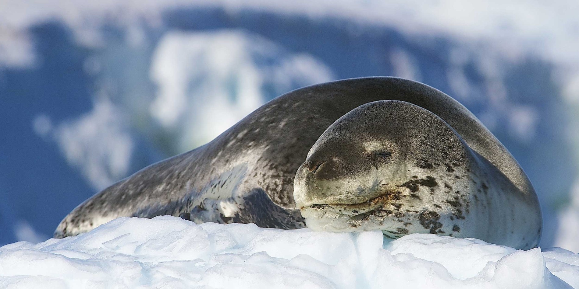 A Weddell seal in Antarctica