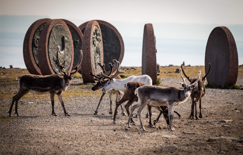 Reindeer at North Cape