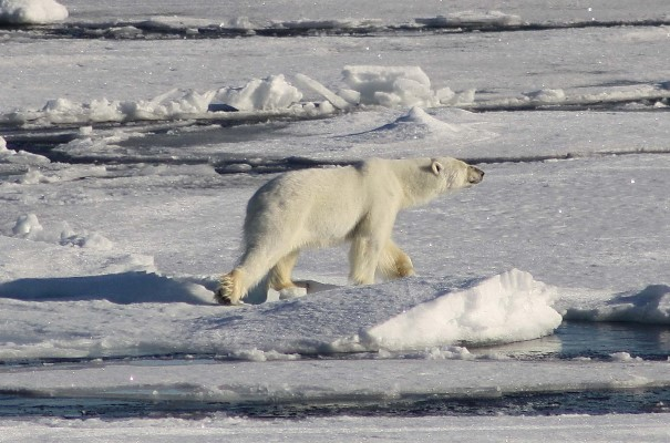 Ice Bears Schedule 2019 Cruise around Svalbard: In the Realm of the Polar Bear (Summer