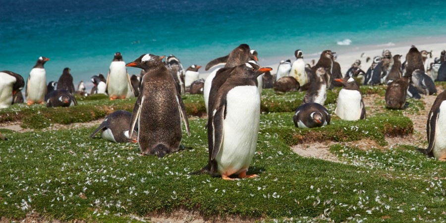 Gentoo Penguins, Bleaker Island, the Falklands.