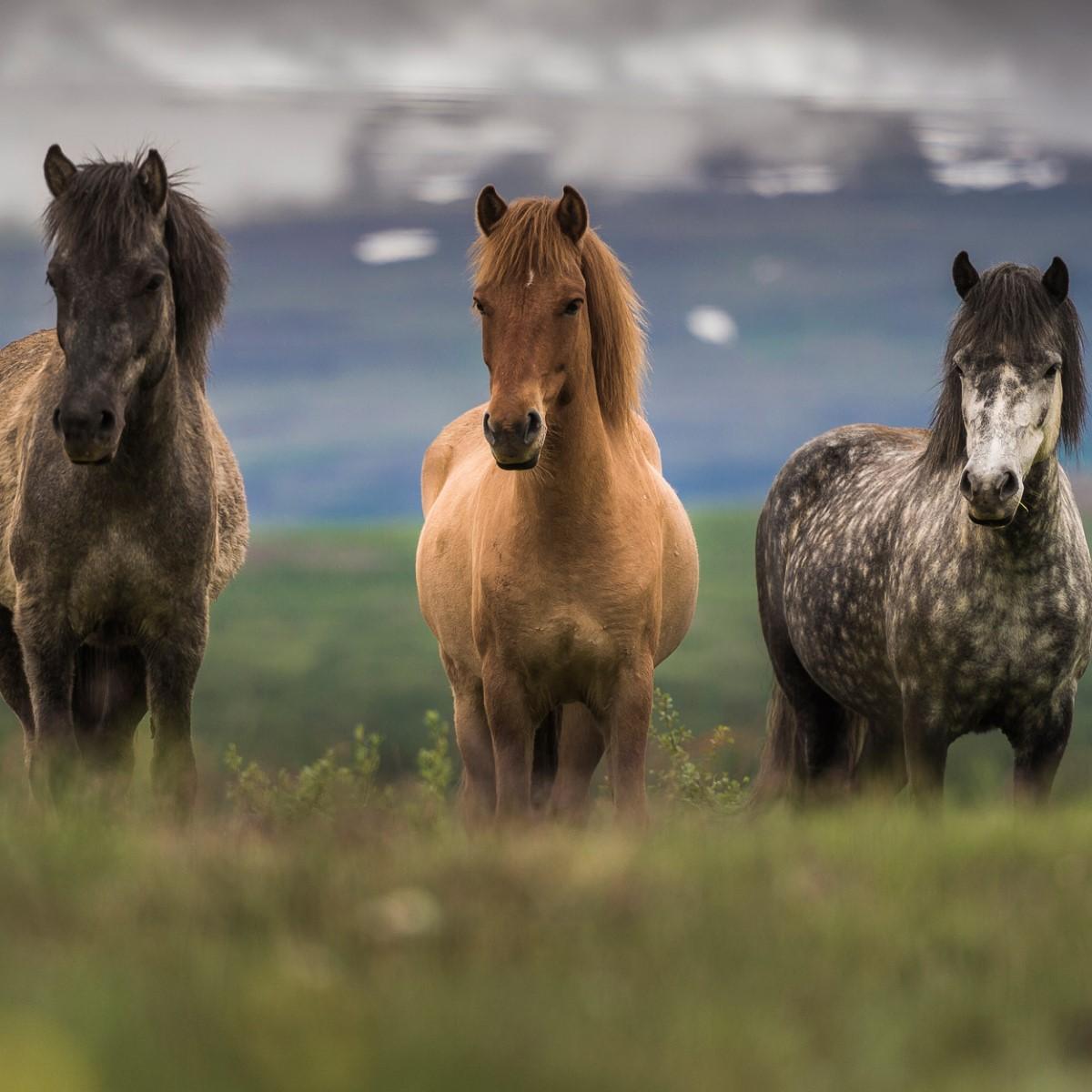 Global Views Horse: Horseback Riding In Ƿingeyri