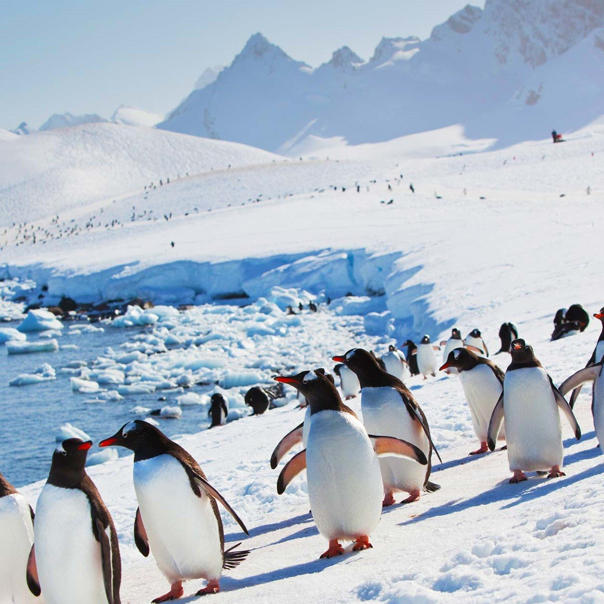 7 penguin species you might see in antarctica hurtigruten us for Can i visit antarctica