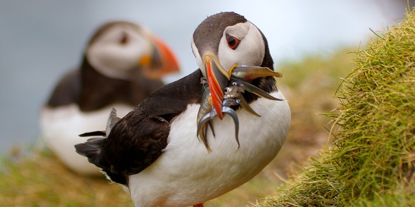 Atlantic puffins are just one of several bird species that can be spotted in the Faroe Islands during the summer.