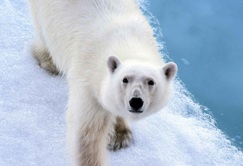 The polar bear population of Franz Josef Land is thought to be around 3,000.