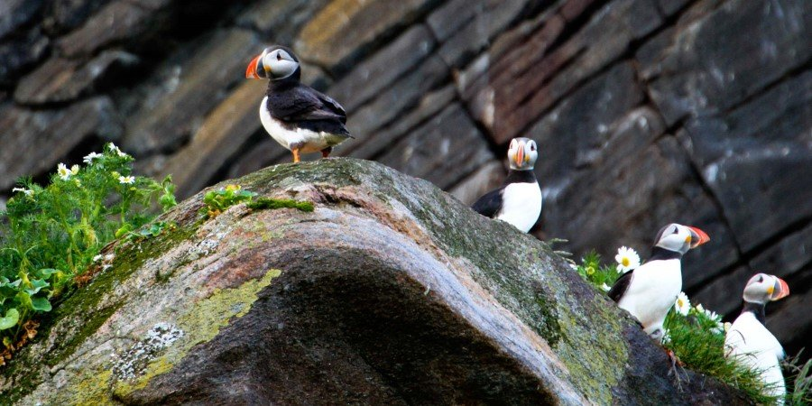 Bird Watching, Puffin